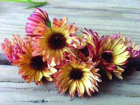 Calendula - Bronzed Beauty - Pinetree Garden Seeds - Flowers