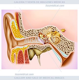 Anatomía y fisiología del oído. El oído es un conjunto de órganos cuyas ....