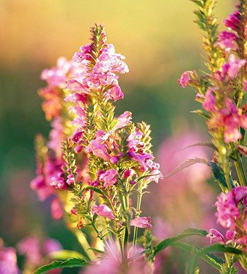 Obedient Plant ~ This fast-spreading plant offers beautiful spikes of snapdragon-like flowers in late summer. Native to the region, it'll add...