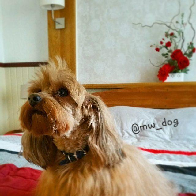 Увезли на выходные в какой-то отель... сказали что нельзя выбегать в коридор и облизывать всех встречных. Ну и что это за отдых такой? Люди такие странные... #mw_dog #dog #pet #animal #orchid #петербургскаяорхидея #котопес #собака #щенок #спб #spb #dogstagram #президентотель #зеленогорск by mw_dog