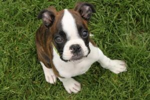 1/2 boxer, 1/2 Boston terrier, how cute!: Puppy, Boxers Rescue, Terriers Rescues