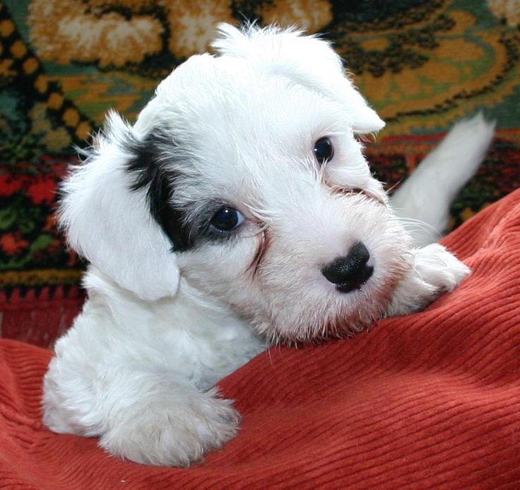 88 best Sealyham terriers. images on Pinterest | Doggies, Sealyham ...