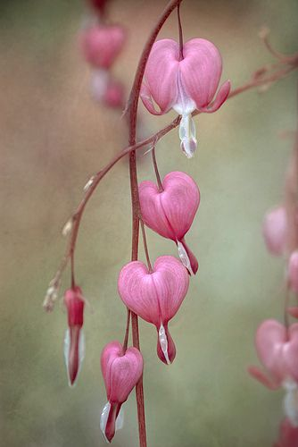Pink bleeding heart, I love these plants!