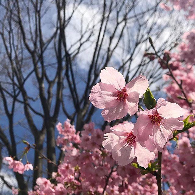 Доброе утро из #Япония! В #Киото расцвела #сакура !  #весеннеенастроение #сакура #мидокоро