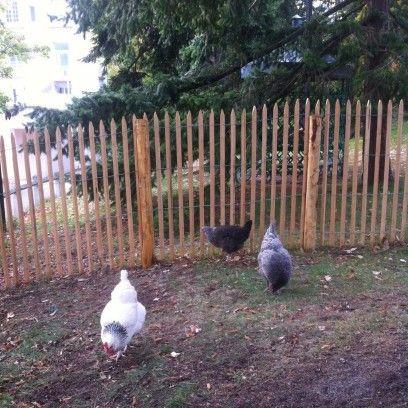 Enclos à poules