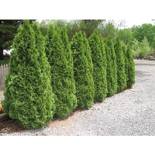 Good Privacy Hedge $6.98 Lowes | Gardening And Plants | Pinterest | Privacy  Hedge, Gardens And Yards