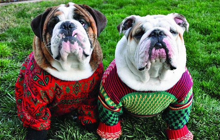 Cute dogs wearing ugly Christmas sweaters.
