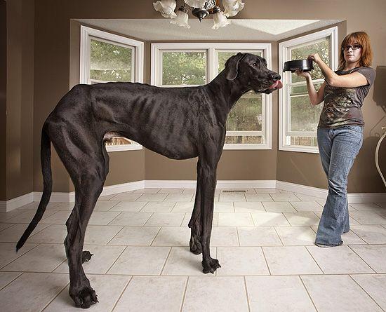 """Um cão da raça dogue alemão, que vive nos EUA, é o maior do mundo, segundo o """"Guinness Book""""."""