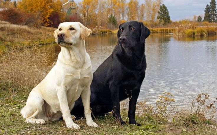 black and yellow labs