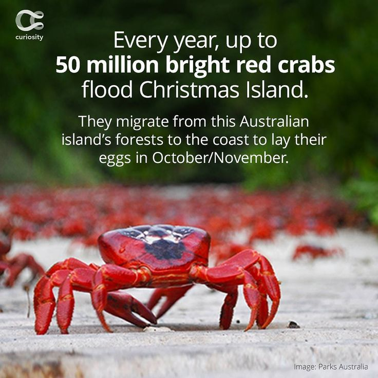 Places To Visit In Christmas Island: Best 25+ Christmas Island Crabs Ideas On Pinterest