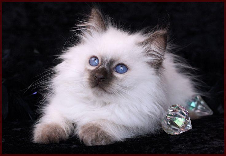 Balinese Kitten Cutest Kitten Ever Balinese Cat Siamese Cats