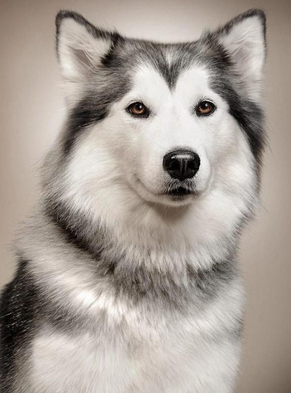 Image By Elizabeth On Dogs In 2020 Dogs Husky Dogs Homeless Dogs