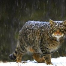 Wildcat of Scotland
