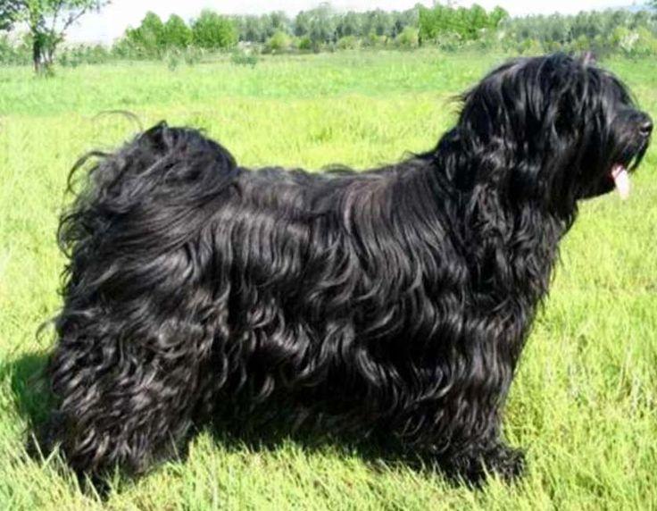 Tibetan Terrier | Тибетский терьер – описание чудной породы собак, происхождение и её темперамент. Фотографии собак породы Тибетский терьер.