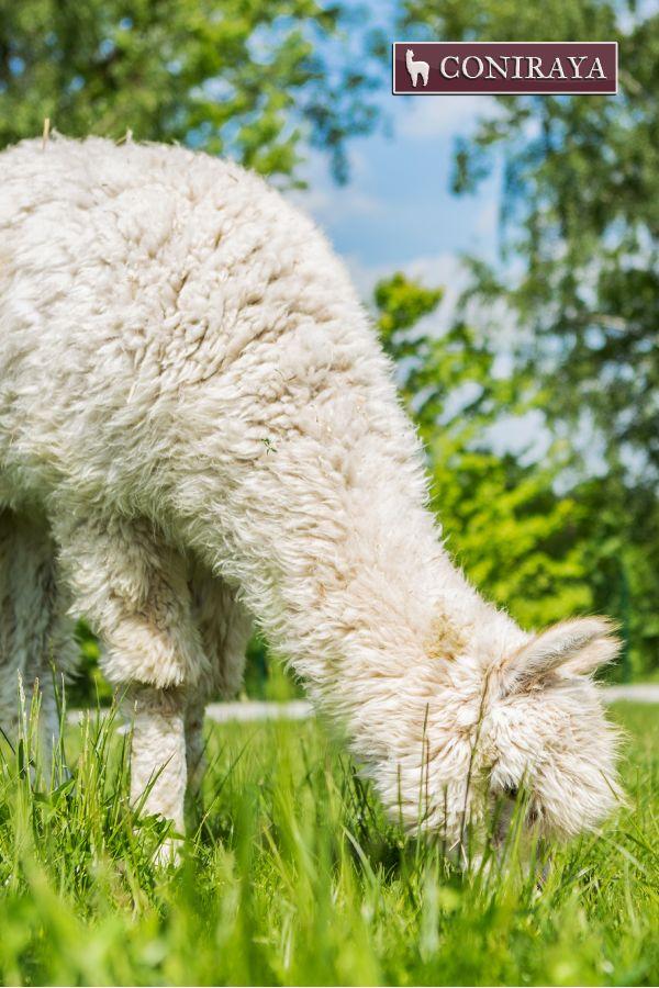 Alpacas want to be fit! :D #alpaca #coniraya #alpakino #alpacas #fit #greengrass