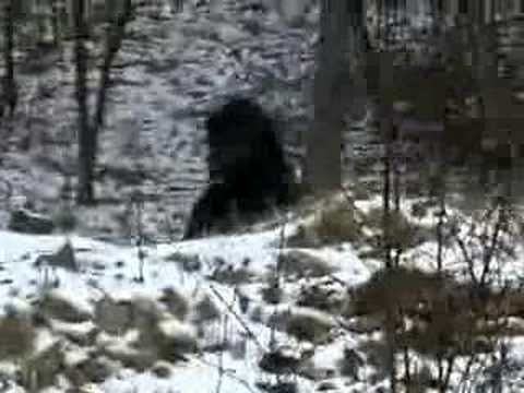 Disturbing Bigfoot video . CHECKOUT our YOUTUBE CHANNEL @ http://www.youtube.com/user/BUTCHYKID624?feature=mhee