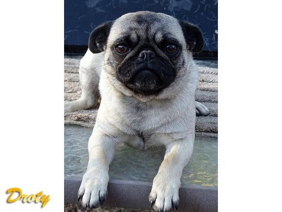Pug Puppies Sire OFA Tested & pups Guaranteed AKC or APRI Pugs. We are a AKC Breeder of H.E.A.R.T. They Will go home with current two plus sets of Vaccinations,Three sets of ...