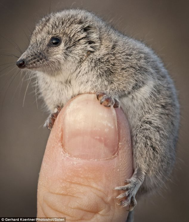 Your thumb is MINE! The Giles' planigale is a native of the Australian bush and, despite having a bit of a temper, the little critter poses no threat to humans