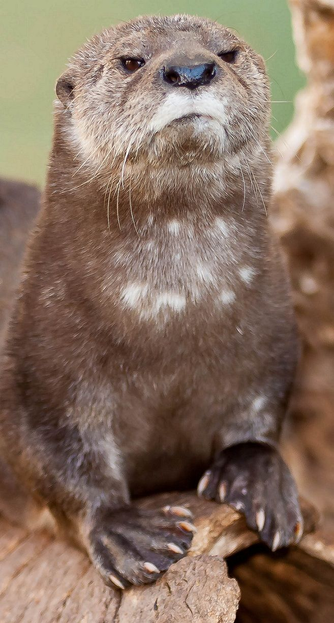 Grumpy otter.... | Animals/Birds | Pinterest