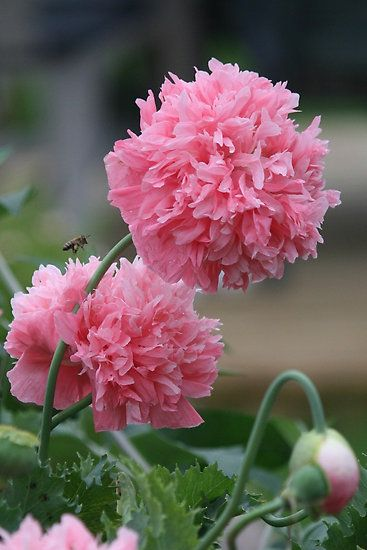 Pink Skyline Peony Poppies. Self sowing. Annual Flowers.