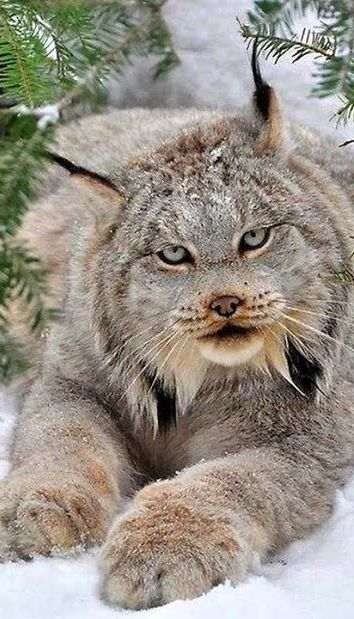 Lynx in the snow. Floofy paws.