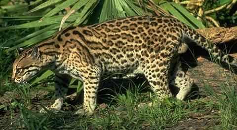 El leopardo es uno de los grandes felinos más adaptables. Excepto en desiertos, habita en todo tipo de hábitats siempre que tenga un lugar donde esconderse y existan suficientes presas para sobrevivir; se encuentra presente en todo tipo de bosques y selvas, en las sabanas, en los sembrados y en lugares rocosos. En algunos hábitats, el leopardo desarrolla formas para evadir a otros depredadores mayores o más numerosos como es el caso del león y las hienas en África y el tigre en Asia…