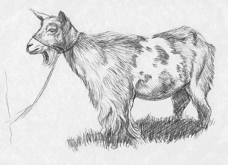 Goat / pencil / graphic art / illustration