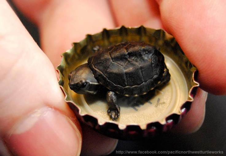 The smallest turtle ever hatched at Pacific Northwest Turtleworks weighing in at 1.22 grams. This is a mini musk with parents that are 2 inches (dad) and 3 inches (mom).
