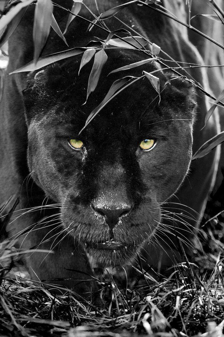 25+ best ideas about Black jaguar on Pinterest | Panther ... - photo#41