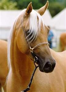 arabian palomino                                                                                                                                                      More