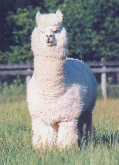 17 Best Images About Alpacas Amp Llamas On Pinterest