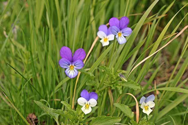 Fiolek Trojbarwny Viola Tricolor Plants Tri Color Viola