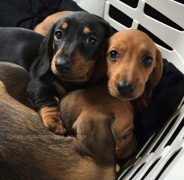 Pinterest: Bri_Raquel ==> visit http://www.amazingdogtales.com/gifts-for-dachsund-lovers/