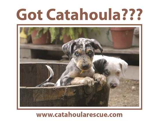 Got Catahoula? if you need some find #adoptables at link ❥ ❥ ❥ http://www.petfinder.com/pet-search?animal=&breed=&age=&size=&specialNeeds=&declawedPets=&children=&status=&id=&internal=&contact=&name=&shelter_id=TX363&sort=&preview=1