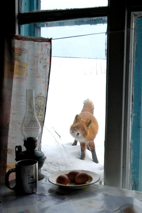 : Window View Winter Cabins, Hello Winter, Cabins Window, Curious Foxes, Winter Foxes, Foxes Winter, Foxes Renard, Red Foxes, Winter Animal Snacks