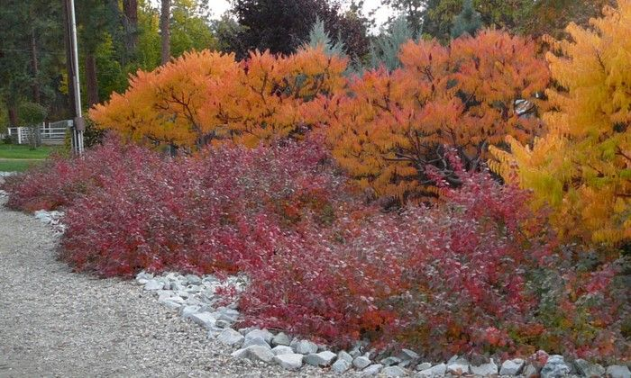 Gro-Low Sumac with tri-lobes backed by staghorn sumac