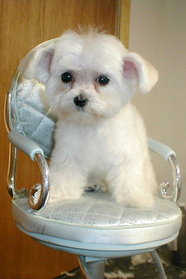 Maltese Looks Like An Ewok With It S Ears Adorable X Omg Omg