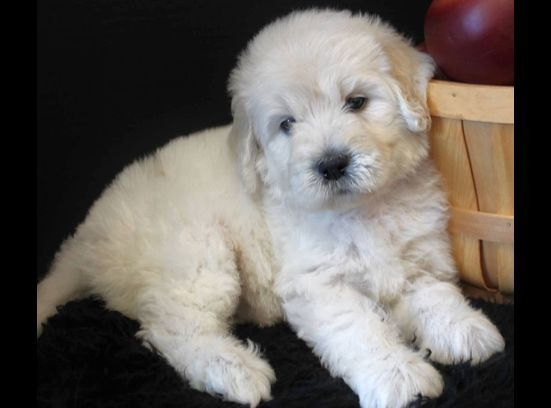 English Cream Quot Teddy Bear Quot Goldendoodle Puppy English