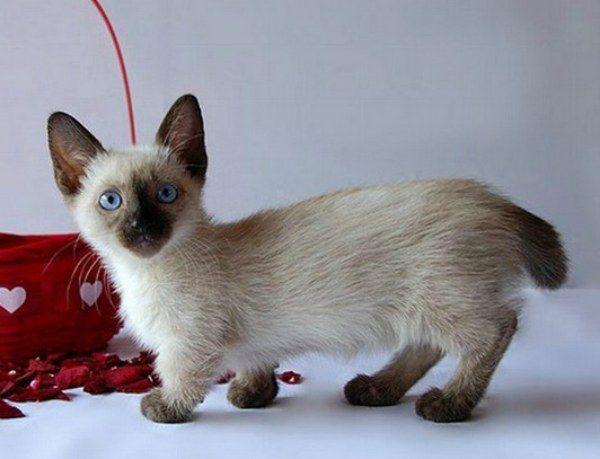 Munchkin, Manx looking Cat