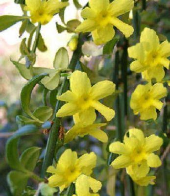 Jasminum nudiflorum - (Echter Winterjasmin), Containerware 30-40 cm   GartenXXL.de