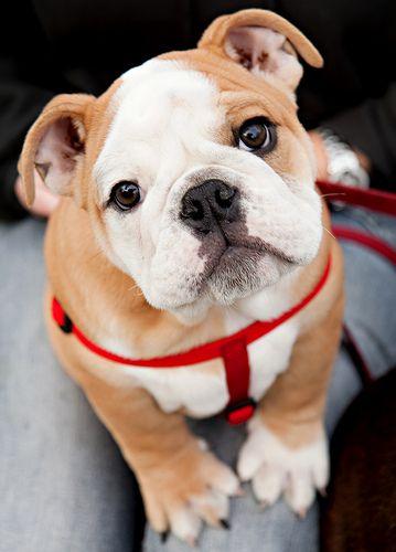 yesssssss love.: Bulldog Puppies, Cutest Dogs, English Bulldogs Puppies, Puppies Dogs Eye, Pet, Puppy, Baby, Bull Dogs, Animal