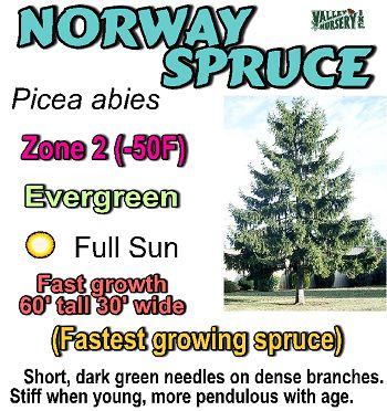 Valley Nursery Inc. - Picea (Spruce)