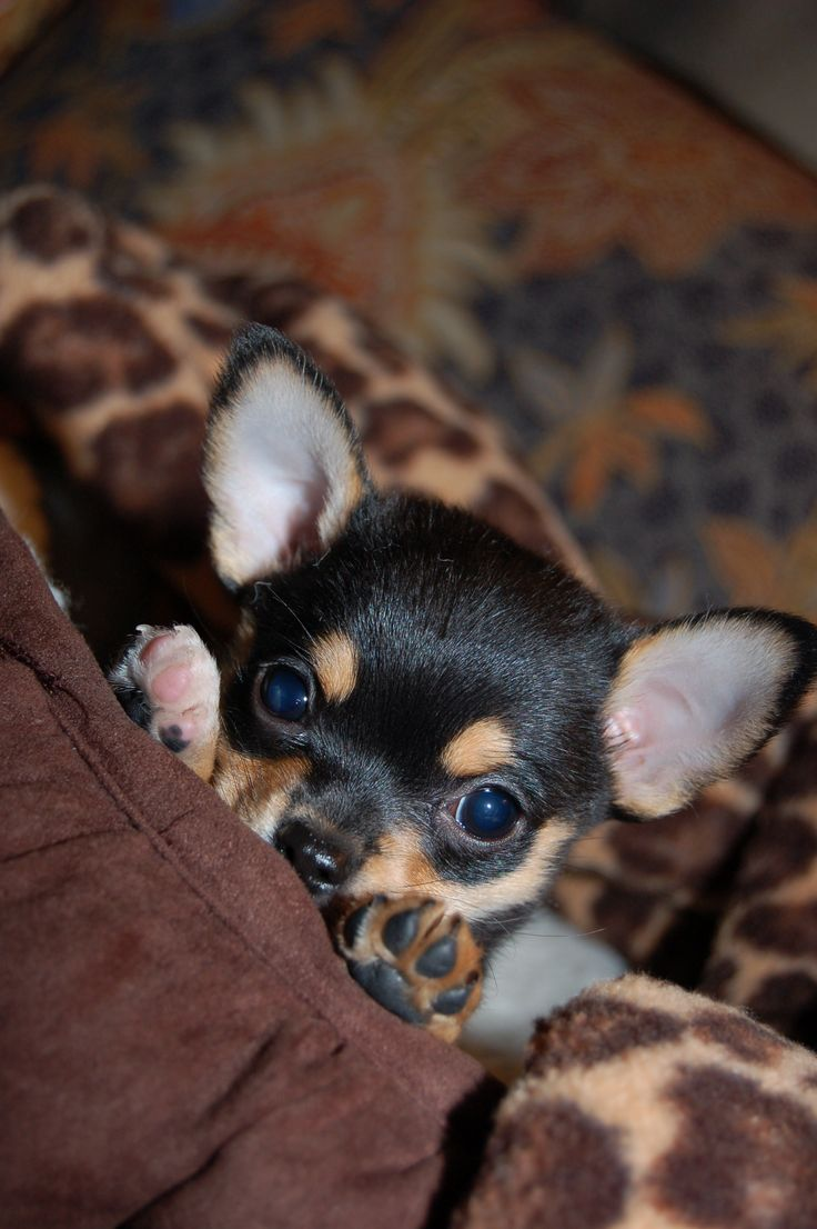 Rocky - 2007 - stealer of hearts!: Detailed Cost, Animals, Chihuahuas, Sweet, Dogs, Chihuahua Puppies, Puppy, Peek A Boo