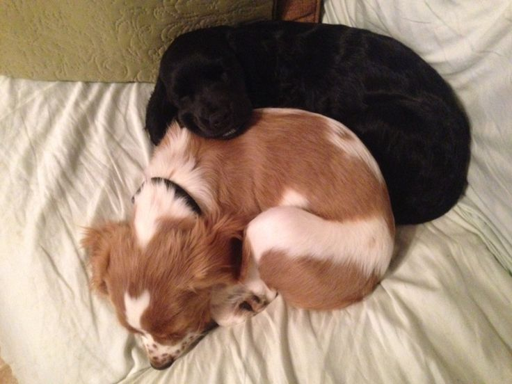 78+ images about Spaniel and golden retriever mix su Pinterest | Sedie ...
