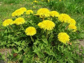 Kevesen tudják, hogy elsőrendű zsírégető az ismert növény! - Egy az Egyben