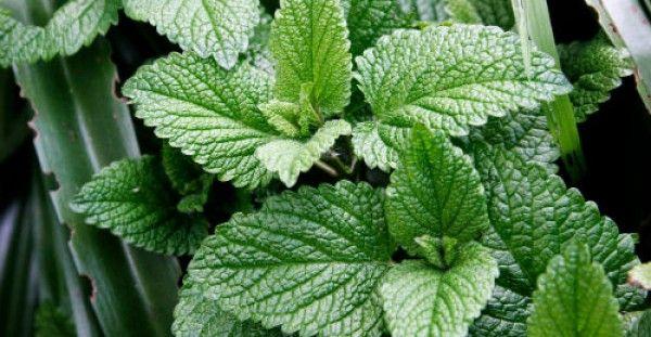 Θεραπεύστε το στομάχι και το έντερο σας με ένα βότανο…