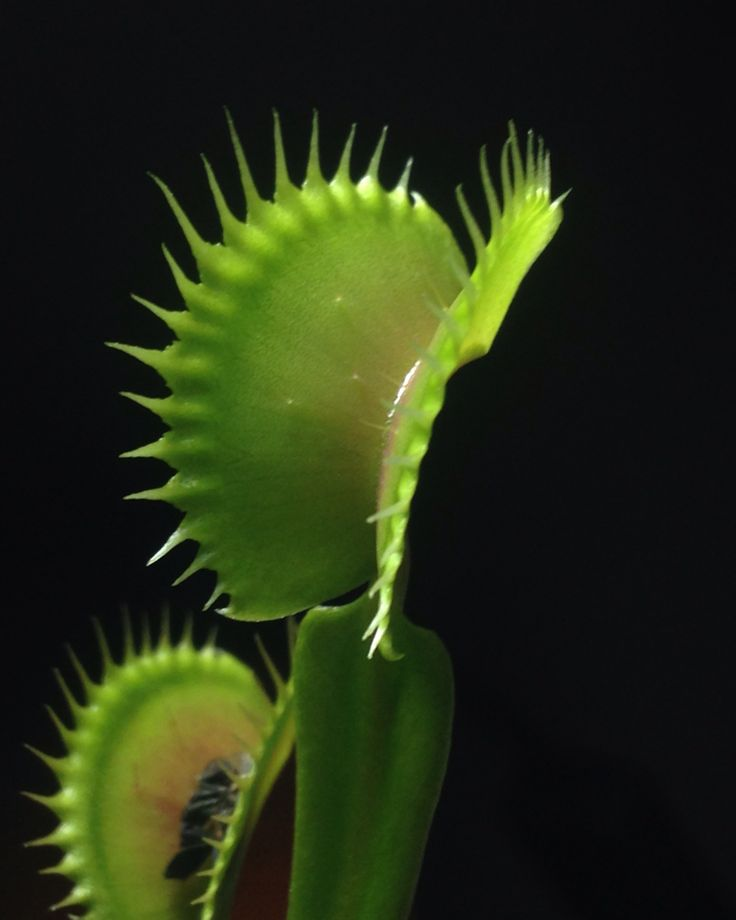 Dionaea Tiger Shark
