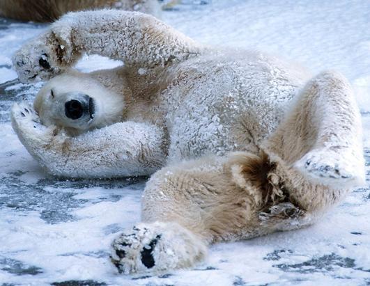 A polar bear enjoys the fresh snow in the zoo in Berlin, Germany