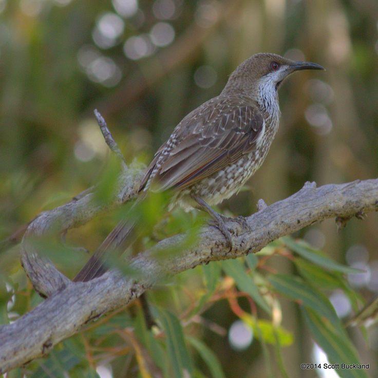 Western Wattlebird - Glen Forrest, Western Australia - ©2014 Scott Buckland