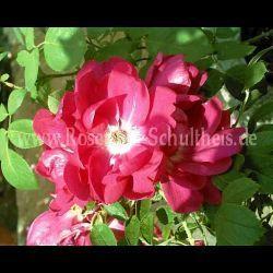 Guna - Suche - Rosen von Schultheis